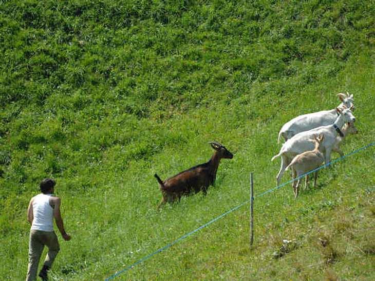 """""""Die Alm - Promischweiß und Edelweiß"""": Die HighlightsCarsten (38) beim Ziegen hüten. Seine große Liebe hat er aber in der Kuh """"Nora"""" gefunden. Von der sagte er schon, dass er die vermissen wird, wenn er die Alm verlässt."""