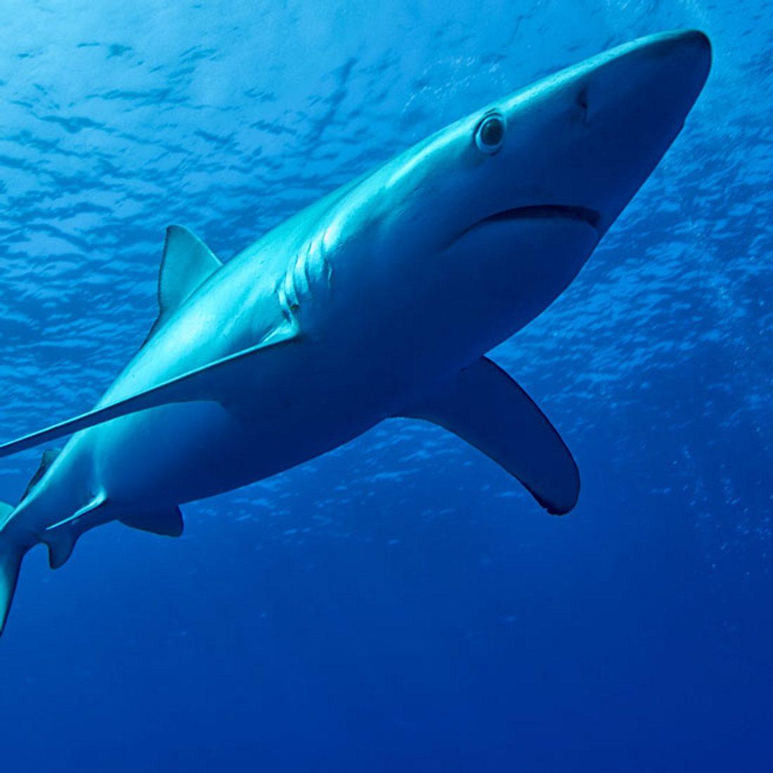Blauhai-Symbolbild