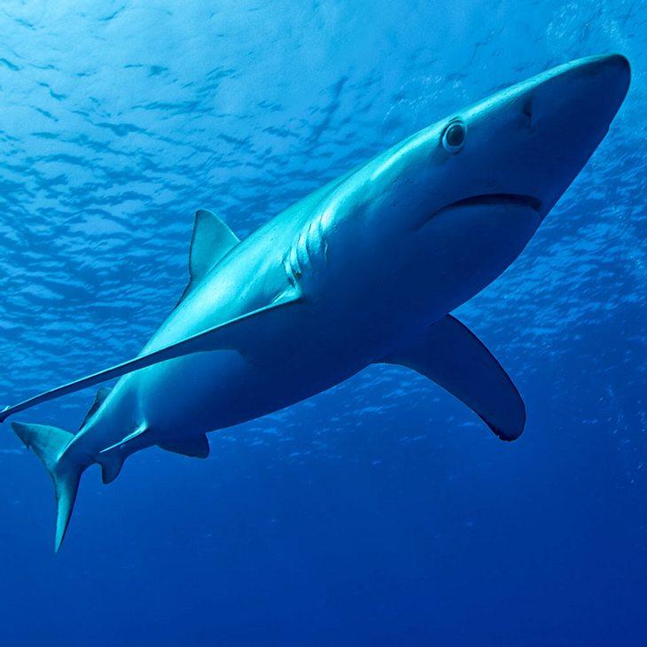 Seltener Blauhai an Strand gespült