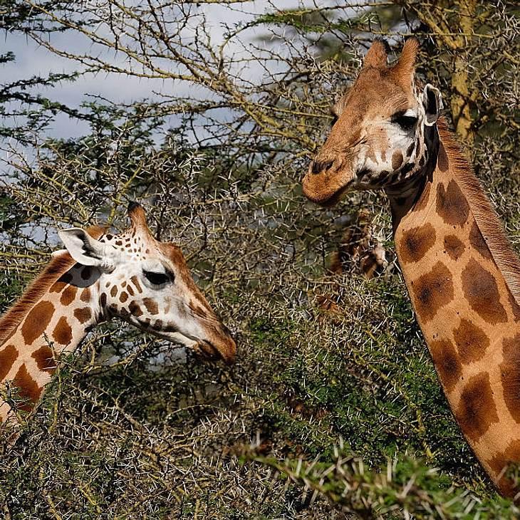 Der Kameramann wurde von einer Giraffe getötet
