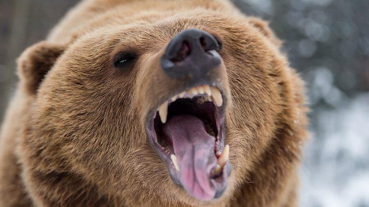 Mutter und Baby von  Grizzlybär getötet
