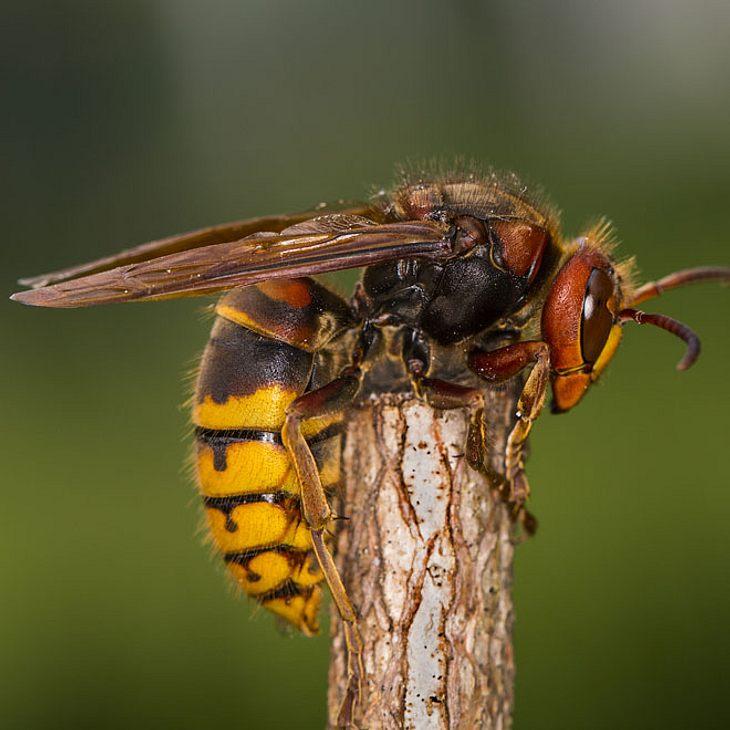 Hornissen-Horror Frau 50 Minuten lang von wilden Insekten angegriffen - tot!