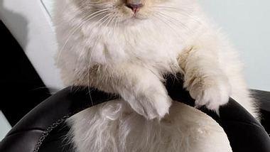 Seine Katze Choupette verdient 3 Millionen Dollar!