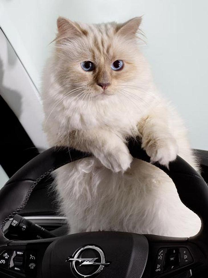 Katze Choupette wird jetzt Model