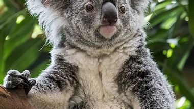 Widerwärtige Tat: Koala an Pfosten festgenagelt! - Foto: imago (Symbolbild)