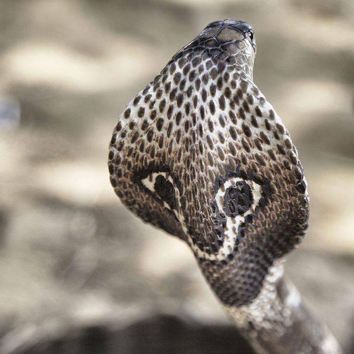 Datierung einer Hengskönide-Kobra