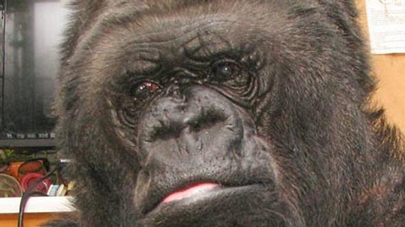 Glasige Augen - Koko ist traurig - Foto: The Gorilla Foundation