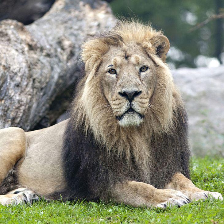 Asiatischer Löwe Thar im Nürnberger Zoo gestorben