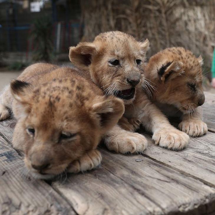 Platzmangel: Zoo tötet neun gesunde Löwenbabys