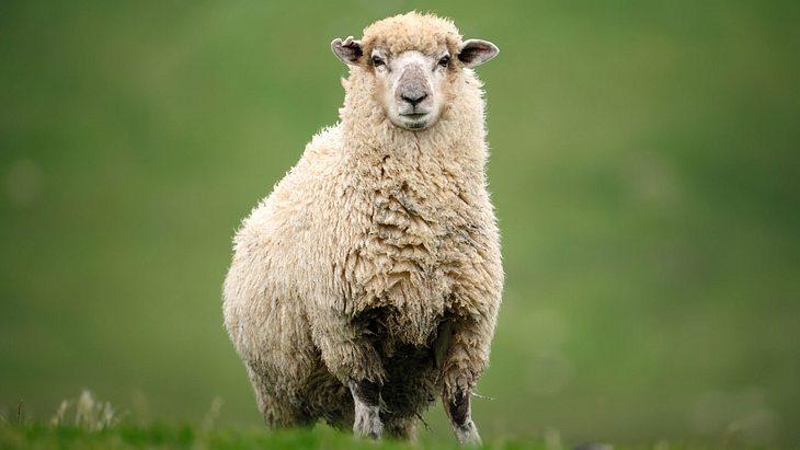 Mann hat Sex mit Schaf! Danach muss das Tier geschlachtet werden!