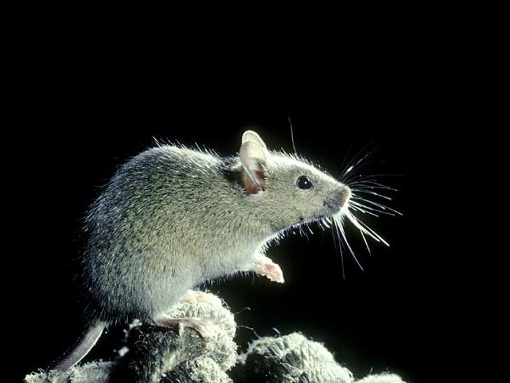 Müssen Mäuse leiden, damit ALS-Kranke leben können?