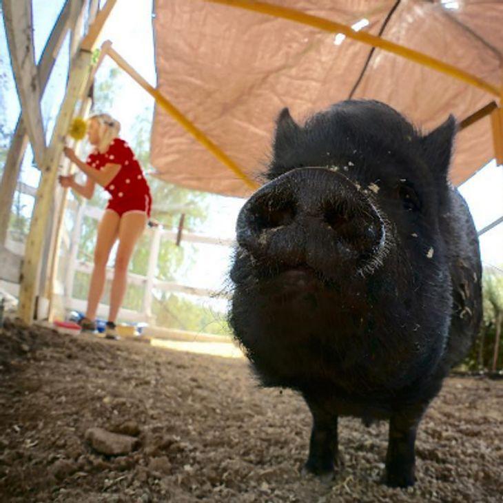 Liam und Miley genießen die Zeit mit ihrem Schwein