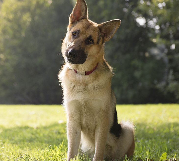 Schäferhund misshandelt - Symbolbild