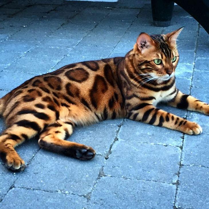 Thor ist die schönste Katze der Welt