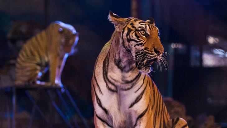 Schrecklich! Tiger kollabiert während Zirkus-Show