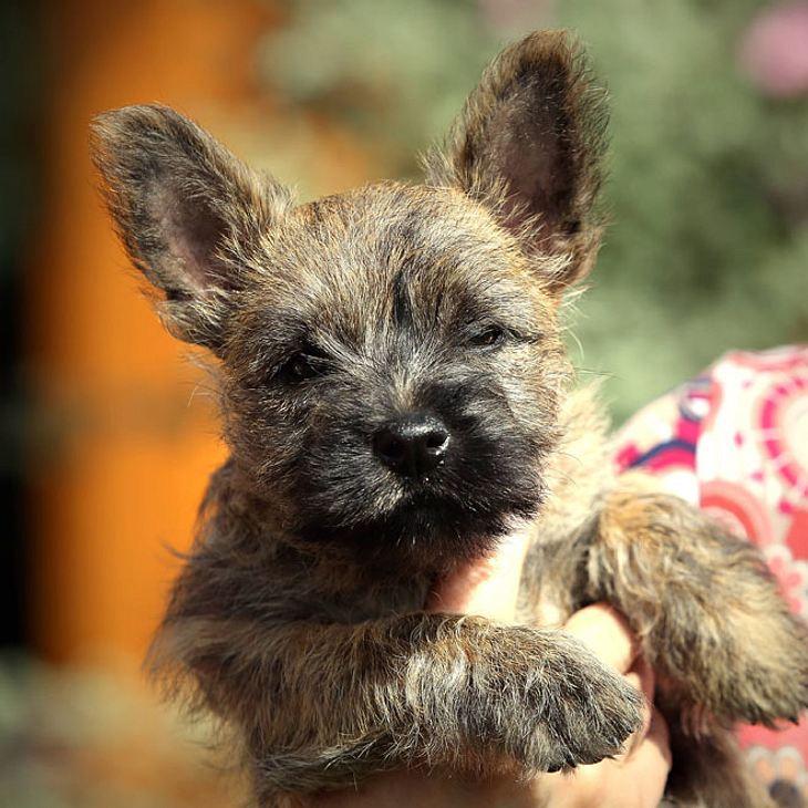 Frau überfährt drei Monate alten Yorkshire-Terrier in Langendreer